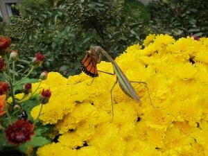 Monarch Being Eaten 10-7-13